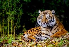 Заставка лежащего тигра скачать
