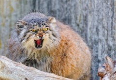 Манул морда агрессии кота заставки скачать на рабочий …