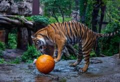 Тигр, мяч, зоопарк, игра, хищник, фоны, заставки