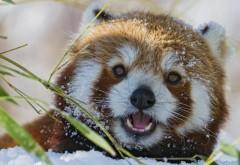 Морда, красная панда, зверек, трава, фоны, заставки