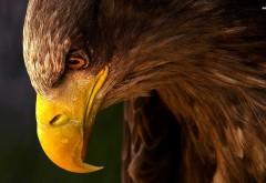 Профиль, орел, клюв, птица, фоны, заставки
