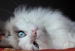 Пушистый котик, голубые глаза, кот, фоны, заставки