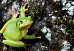 Макро фото зеленой лягушки внимательно смотрящей в камеру