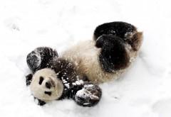 Панда, снег, игривый, медведь, фоны, заставки