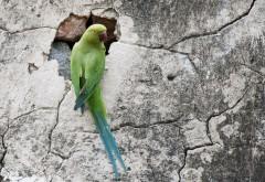 Фото попугая вида ожереловый Крамера сидящего на скал�…