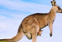Кенгуру, кенгуренок, животное, малыш, фоны, заставки