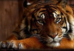 Милы тигр с угрюмым взглядом обои hd бесплатно