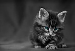 Милый котик, пушистик, глаза, чернобелые, обои hd, беспла…
