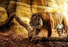 Красивый тигр 3D обои hd бесплатно на рабочий стол