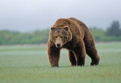 Большой бурый медведь обои hd бесплатно, прикольный мед…