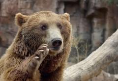 Бурый медведь с прикольной лапой обои hd бесплатно