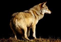Волк, животное, дикий зверь, одиночка, обои hd, бесплатно