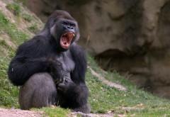 гориллы, черная обезьяна, обои hd, бесплатно