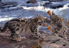 Детеныши снежного леопарда обои hd бесплатно