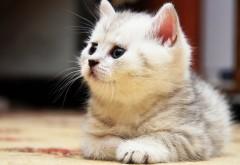 Широкоформатное фото милого, спокойного котенка