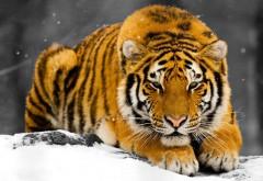 Тигр, взор, снег, зима, хищник, обои hd, бесплатно