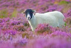 Овца, трава, цветы, сирени, обои hd, бесплатно