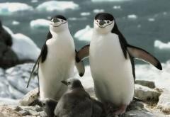 Семейка пингвинов, море, семья, млекопитающие, обои hd, б…
