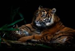 Семья тигров обои hd бесплатно