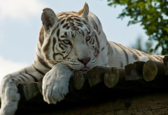 Отдых белый тигр обои hd бесплатно