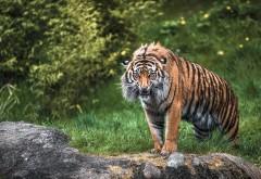 Злой тигр, страшный хищник, мокрый зверь, клыки, обои hd, …