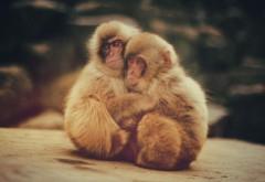 Обнимашки, обезьянки, макаки, животные, детеныши, обои h…