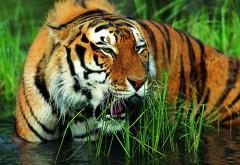 Дикий зверь, хищник, охотник, тигр, озеро, обои hd, бесплатно