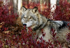 Широкоформатные обои hd бесплатно волк в лесу осенью в красной листве скачать