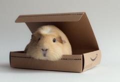 Морская свинка, коробка грызунов, обои hd, бесплатно