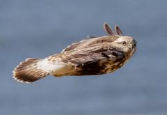 Полет птицы сова или орел обои hd бесплатно