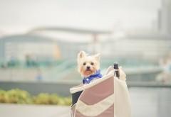 Собака, милый шнауцер, сумочка, собачка, hd фото, картинк…