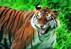 Тигр, клыки, рык, фоны, обои hd, бесплатно