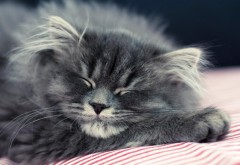 Пушистая кошка спит широкоформатные обои hd бесплатно