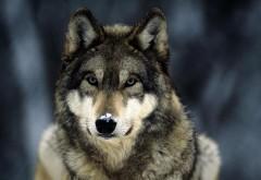 Широкоформатные обои волка на рабочий стол