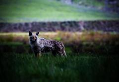 Широкоформатные обои hd волка в поле бесплатно