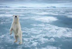Широкоформатные обои hd белого медведя на льду бесплатно