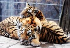 Фото тигров высокого качества для рабочего стола скач�…