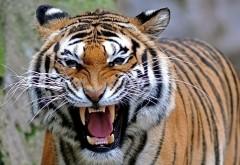 Широкоформатные картинки тигра на охоте бесплатно
