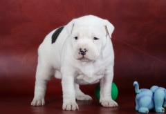 Амстафф щенок пятнистый обои hd бесплатно