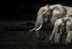 Слон, слониха, слоненок, хобот, фоны, обои hd, бесплатно