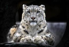 Ирбис, взгляд, снежный барс, дикая кошка, обои hd, беспла�…