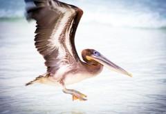 Широкоформатные обои hd пеликана водоплавающая птица б…