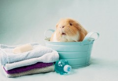 Хомяк моется и вытирается полотенцами обои hd бесплатно