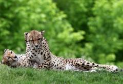 Фото прекрасной пары гепардов