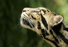 Заставка с красивым животным из семейства кошачьих