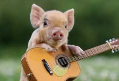 Свинка с гитарой прикольные смешные обои hd на рабочий �…
