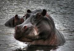 Фото большого, сильного бегемота