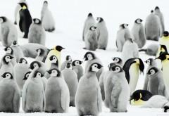 Стая пингвинов высиживает молодое поколение HD обои
