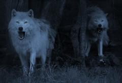 Злые волки в лесу ночью обои hd бесплатно