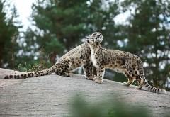 Леопарды, пара, нежность, хищники, камни, животные, HD об�…